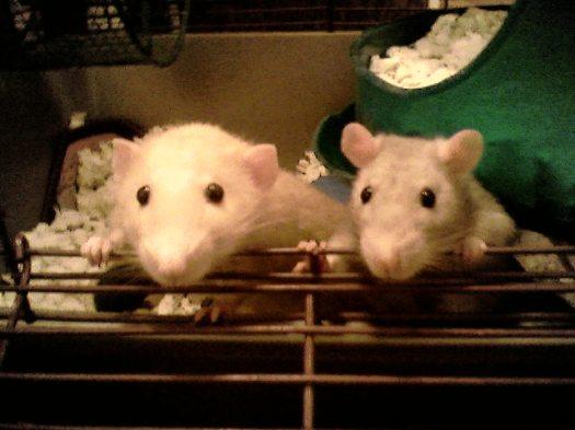 Aren't they cute? From http://weirdwomen.blogspot.ca/2008/04/lets-hear-it-for-rat-boys.html