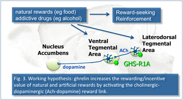 ghrelin thesis Ghrelin in health and diseasereview the physiology and potential clinical applications of ghrelin, thesis 10 a review on plants having anti-arthritic potential.