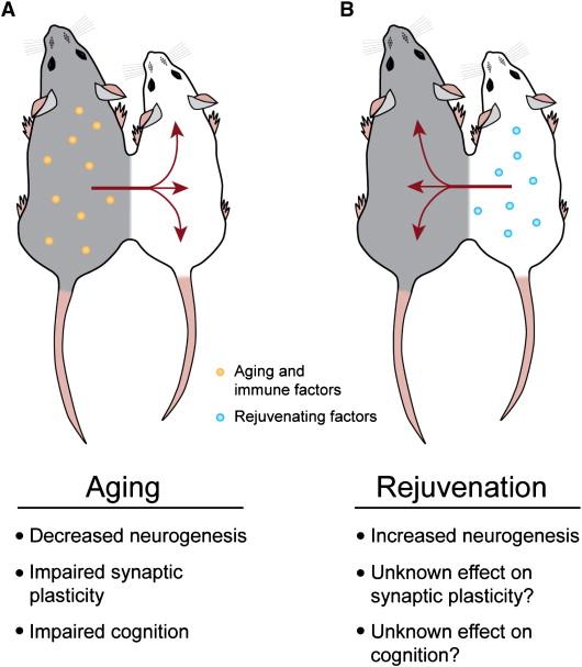 adult neurogenesis | Neurorexia