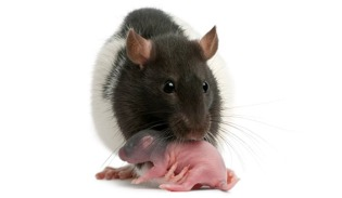 rat_mother