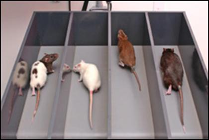 cardio-rats-on-treadmill