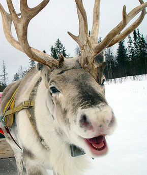 reindeer laughing